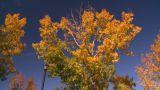 HD2008-10-1b-4 Autumn Trees stock footage
