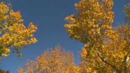 HD2008-10-1b-6 autumn trees Stock Video Footage