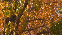 HD2008-10-1b-10 autumn trees Stock Video Footage
