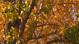 HD2008-10-1b-10 autumn trees Stock Video Footage