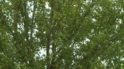 HD2008-10-1b-14 wind trees Stock Video Footage