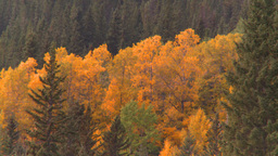HD2008-10-2-1 autumn forest Banff Stock Video Footage
