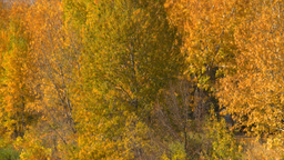 HD2008-10-2-49 Bow River autumn trees Z Stock Video Footage