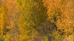 HD2008-10-2-49 Bow River autumn trees Z Footage
