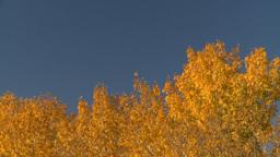 HD2008-10-2-51 autumn trees blue sky Stock Video Footage