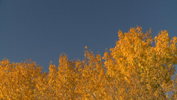 HD2008-10-2-51 autumn trees blue sky Stock Video Footage