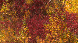 HD2008-10-2-55 bow river autumn trees Z Footage