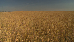 HD2008-9-2-1 wheat field Stock Video Footage