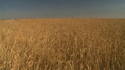 HD2008-9-2-1 wheat field Stock Video Footage