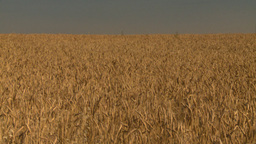 HD2008-9-2-3 wheat field tilt down Stock Video Footage