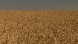 HD2008-9-2-3 wheat field tilt down Stock Video Footage