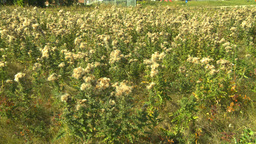 HD2008-9-3-16 thistle weeds Stock Video Footage