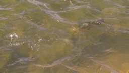 HD2008-9-3-60 trout feeding Stock Video Footage