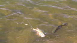 HD2008-9-3-62 trout feeding Stock Video Footage