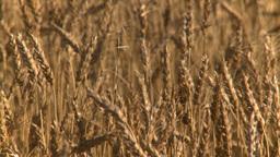 HD2008-9-3-68 ripe wheat Stock Video Footage