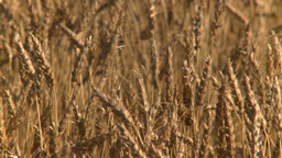 HD2008-9-3-68 ripe wheat Stock Video Footage