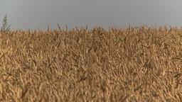 HD2008-9-3-70 ripe wheat Stock Video Footage