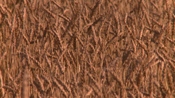 HD2008-9-3-72 ripe wheat Stock Video Footage