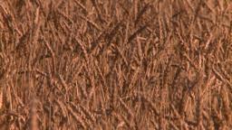 HD2008-9-3-72 ripe wheat Stock Video Footage