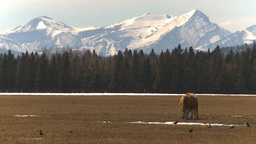HD2009-4-1-40 cow mountains early spring Stock Video Footage