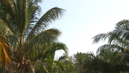 HD2009-4-7-4 Cuba palms Stock Video Footage