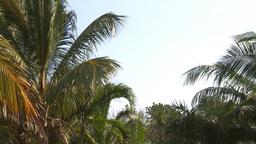 HD2009-4-7-4 Cuba palms Stock Video Footage