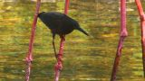HD2009-4-7-8 Cuba Blackbird stock footage