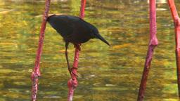 HD2009-4-7-8 Cuba blackbird Footage