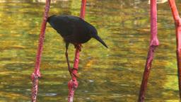HD2009-4-7-8 Cuba blackbird Stock Video Footage