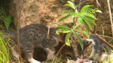 HD2009-4-7-12 Cuba Kittens stock footage