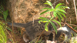 HD2009-4-7-12 Cuba kittens Stock Video Footage