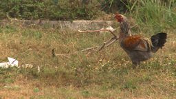 HD2009-4-7-46 Cuba rooster Stock Video Footage