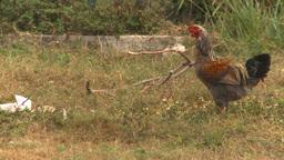 HD2009-4-7-46 Cuba rooster Footage