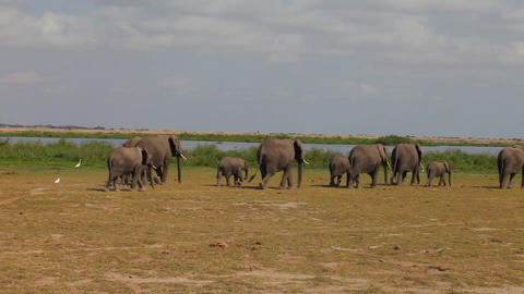 Close-up of a large herd of elephants comes to wat Stock Video Footage