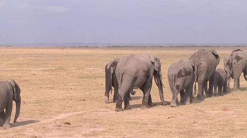 A Large Herd Of African Elephants Migrate Across A Stock Video Footage