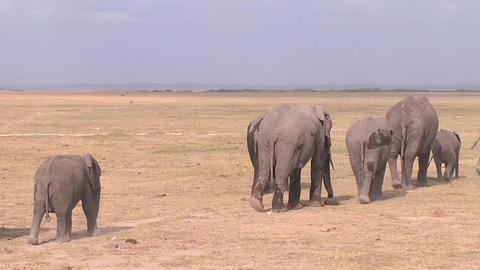 A Large Herd Of African Elephants Migrate Across A Footage