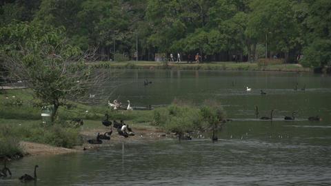 019 Sao Paulo , Ibirapuera park , pond , ducks , s Footage