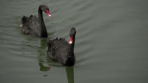 060 Sao Paulo , Ibirapuera park , 2 black swans in Footage