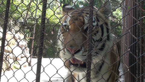 Tigers In The Zoo HD Stock Video Footage