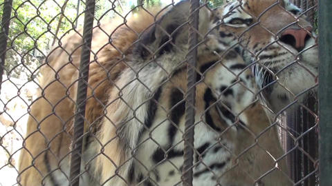Tigers In The Zoo HD stock footage