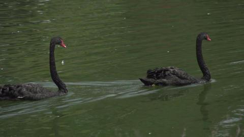 065 Sao Paulo , Ibirapuera park , 2 black swans in Footage