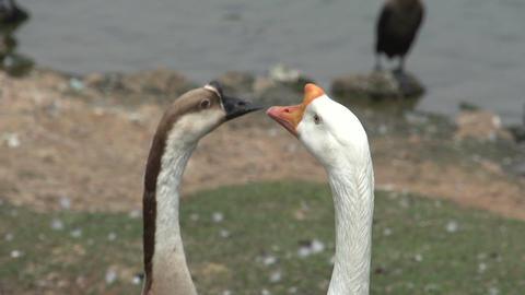 066 Sao Paulo , Ibirapuera park , 2 swans , close Stock Video Footage