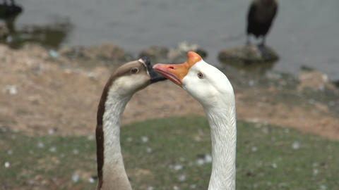 066 Sao Paulo , Ibirapuera park , 2 swans , close  Footage