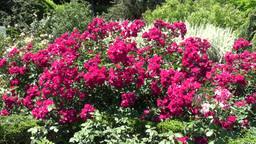 Rose Flowers In The Garden Full HD Footage