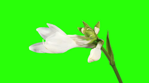 Blooming white hosta flower buds green screen, FUL Stock Video Footage