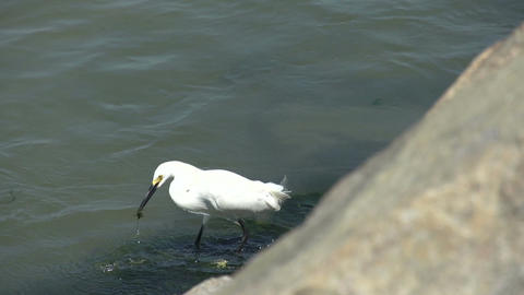 048 Laguna , Big snowy egret ( Egretta thula ) at  Footage