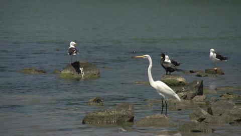 061 Laguna , Big snowy egret ( Egretta thula ), se Footage