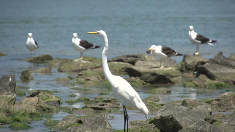 063 Laguna , Big snowy egret ( Egretta thula ), se Stock Video Footage