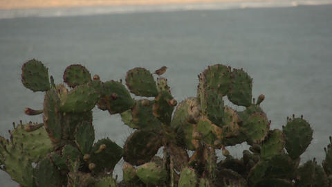 093 Laguna , Santa Marta village , cactus with bir Stock Video Footage
