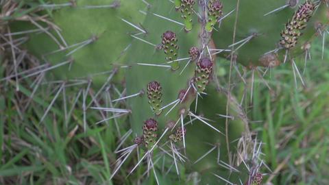 096 Laguna , Santa Marta village , cactus , focal Stock Video Footage